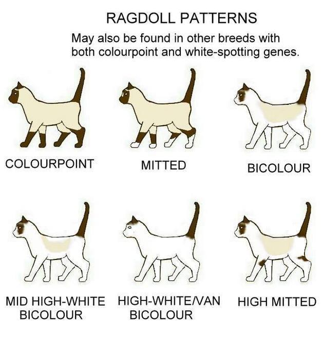 ragdollens mønstre